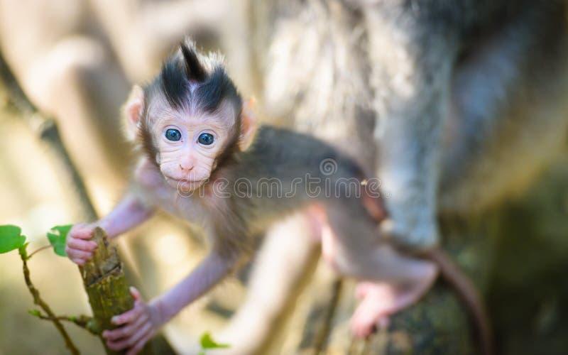 Mała nowonarodzona małpa obraz royalty free