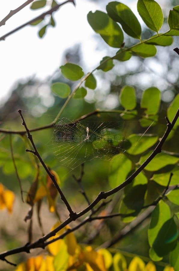 Mała pajęczyna wśród jesieni gałąź akacja w świetle słonecznym Strzela? przy oko poziomem Makro- mi?kkie ogniska, obrazy royalty free