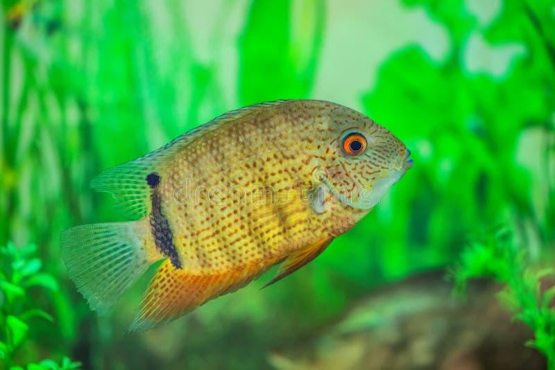 Mała, piękna Cichlasoma ryba, unosi się w akwarium zdjęcia stock