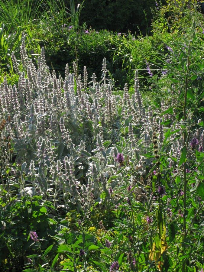 Mała plantacja fragrant, chmielny melissa wśród innych ziele, Z mną ty dostajesz bardzo smakowitej herbaty obrazy royalty free