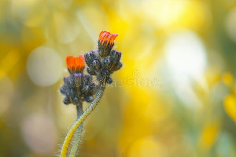 Mała pomarańcze kwitnie Hieracium na delikatnym tle Kwiaty są delikatnie opleceni zdjęcie stock