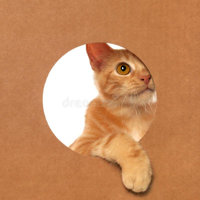 Mała pomarańczowa tabby figlarka bawić się w kartonie zdjęcie stock