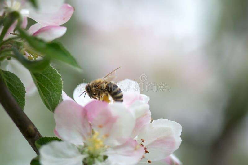 mała pszczoła na białym kwiacie fotografia royalty free