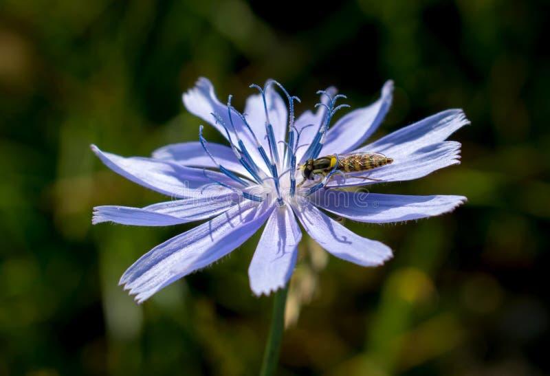 Mała pszczoła zbiera pollen od błękitnego kwiatu który r w lecie na wzgórzach fotografia stock
