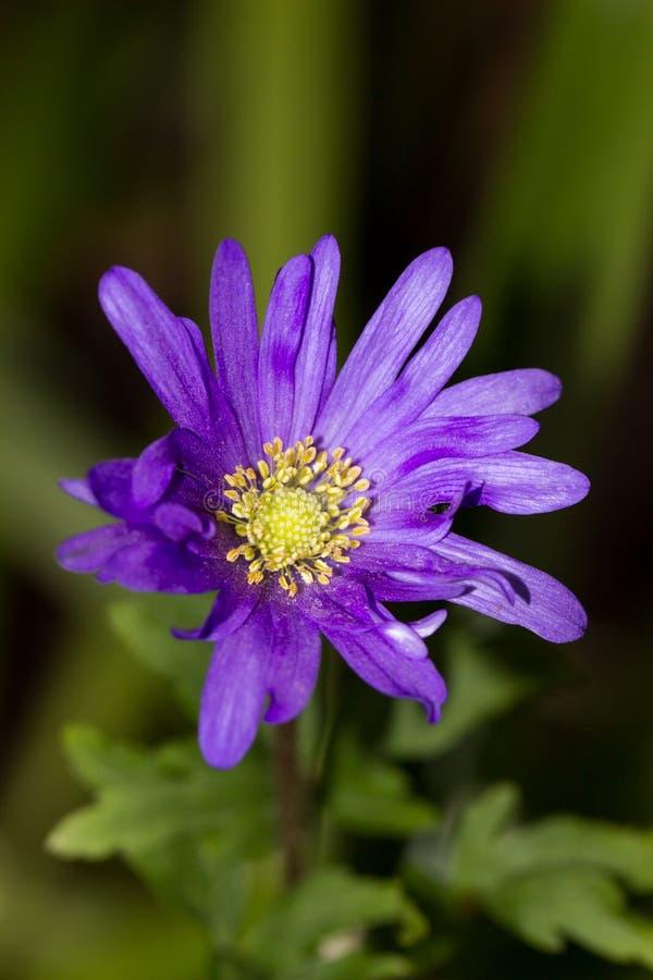 Mała purpurowa stokrotka zdjęcie royalty free