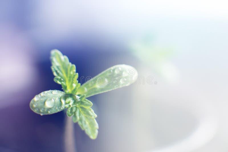 Mała roślina marihuan rozsady Scena roślinność konopie Rozsada w ziemi w słońcu zdjęcie royalty free