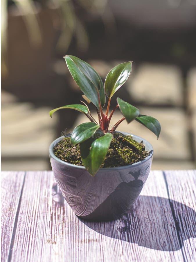 Mała roślina w czarnym ceramicznym garnku zdjęcia stock
