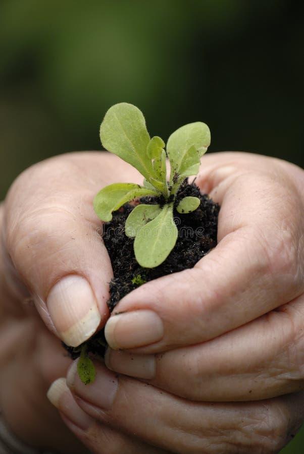 mała roślinnych ręce gospodarstwa fotografia royalty free