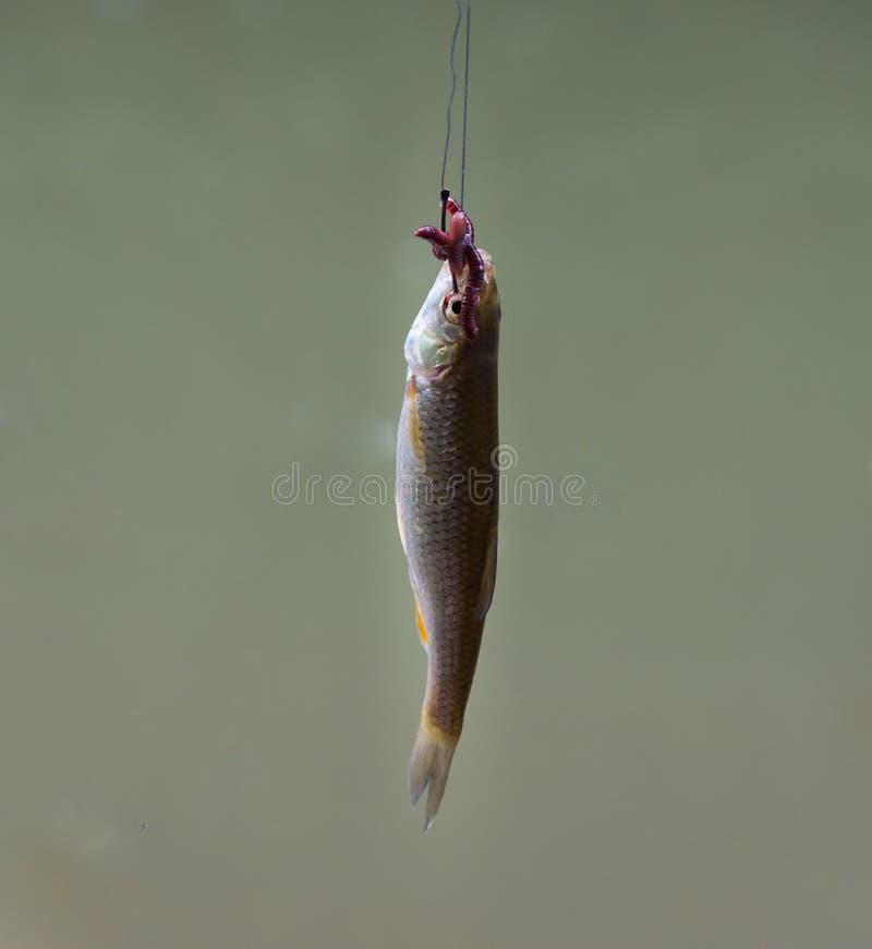Mała ryba hacząca zdjęcie stock