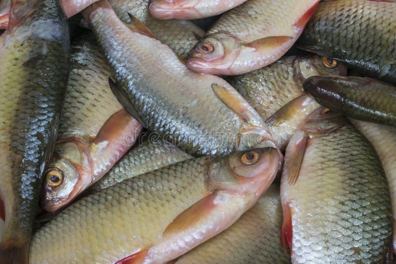 Mała rzeki świeżo łapiąca ryba zdjęcie royalty free
