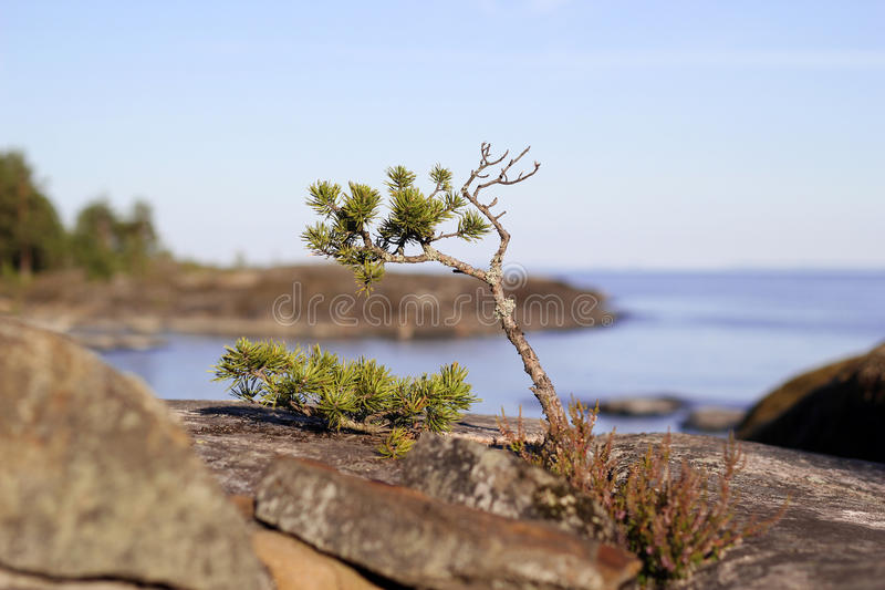 Mała sosna na kamieniu Ladoga jezioro zdjęcie royalty free