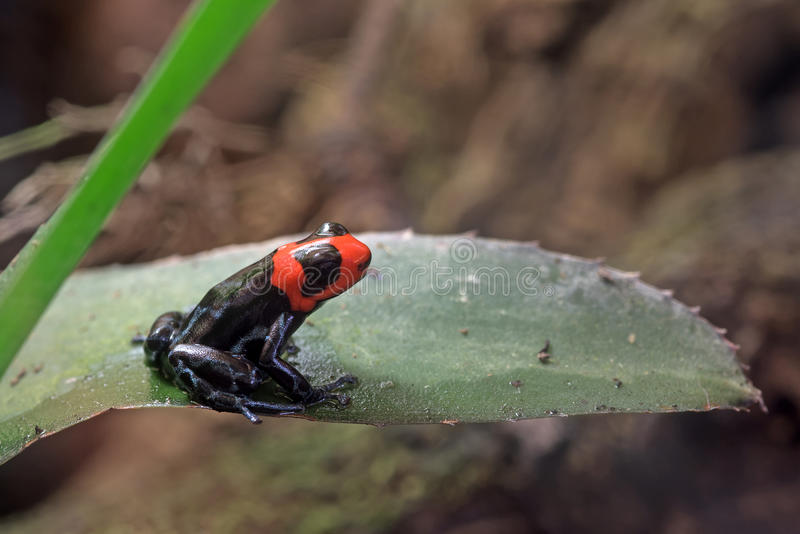 Mała strzałki żaba zdjęcie royalty free