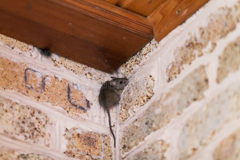 Mała szara mysz siedzi wierzchołka kąt obrazy stock