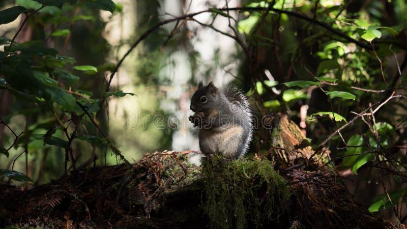 Mała wiewiórka w sekwoja parku narodowym zdjęcia stock
