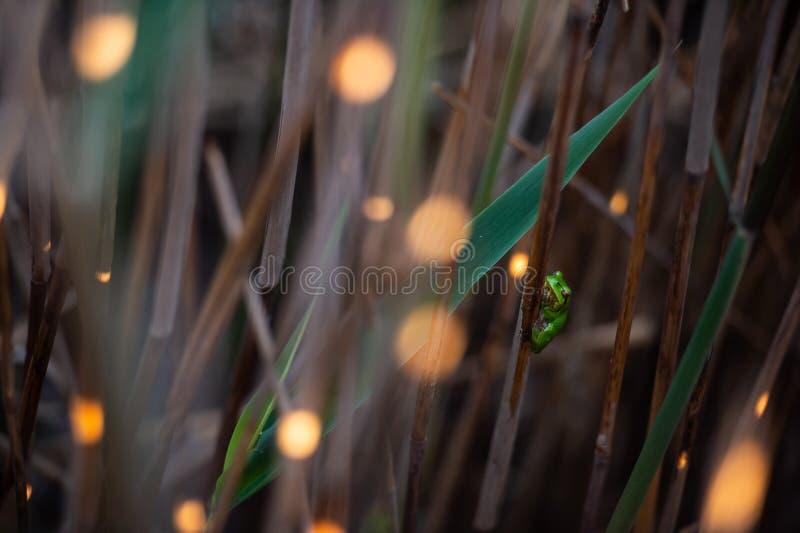 Mała zielona drzewna żaba odpoczywa między płochą podkrada się z światła słonecznego bokeh fotografia royalty free