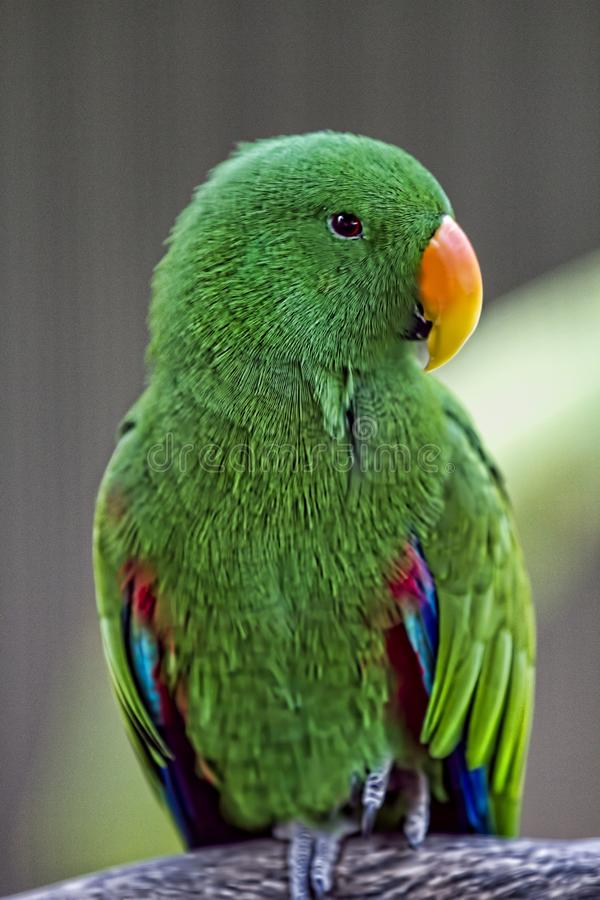 Mała Zielona papuga Siedzi Na gałąź obraz royalty free