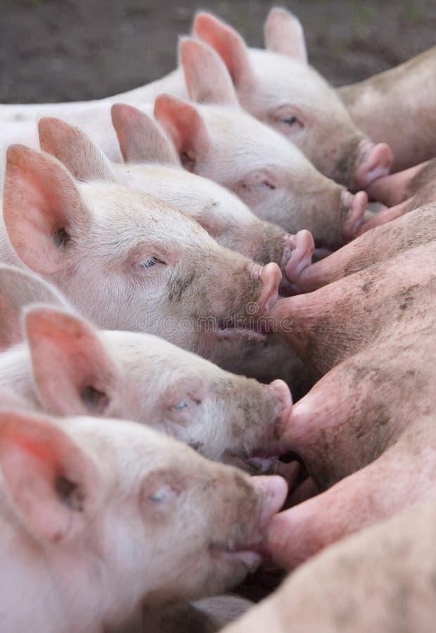 małe świnie