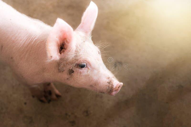 Małe świnie przy gospodarstwem rolnym, chlewnie w kramu fotografia royalty free