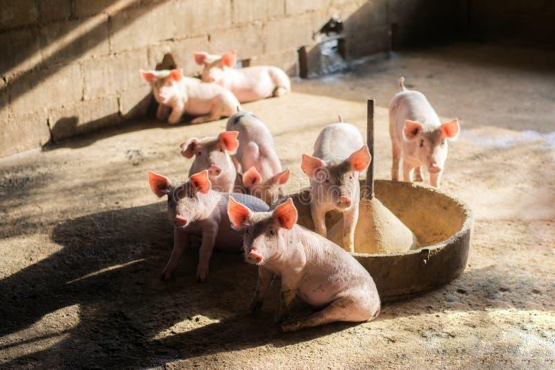 Małe świnie przy rolnym czekaniem dla jedzenia Chlewnie przy gospodarstwem rolnym Mięsny przemysł Świnia uprawia ziemię spotykać  zdjęcia royalty free