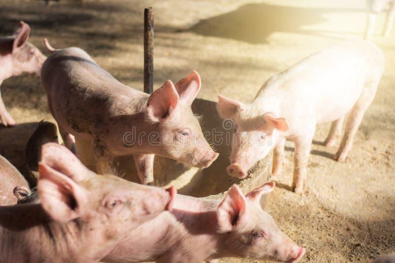 Małe świnie przy rolnym czekaniem dla jedzenia Chlewnie przy gospodarstwem rolnym Mięsny przemysł Świnia uprawia ziemię spotykać  obrazy stock