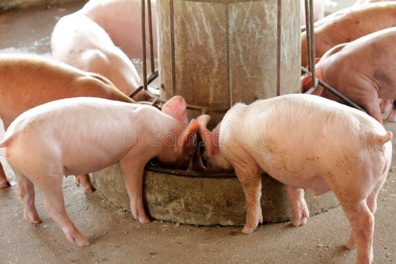 Małe świnie w stajence obrazy royalty free
