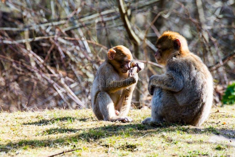 Małe berber małpy na łące obraz stock