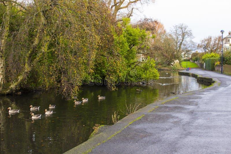 Małe kaczki pływa na rzece która płynie przez oddziału parka w Bangor okręgu administracyjnego puszku w Północnym - Ireland zdjęcia stock