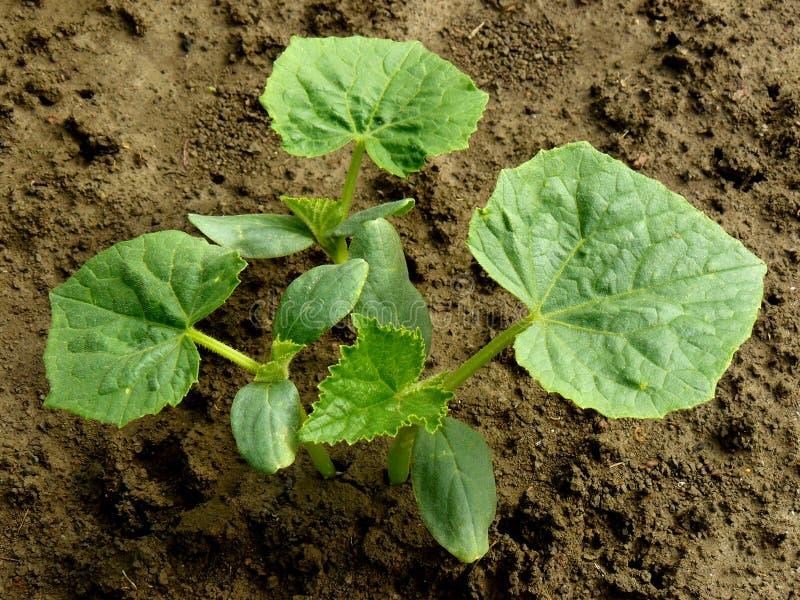 Małe ogórek rośliny zdjęcie royalty free