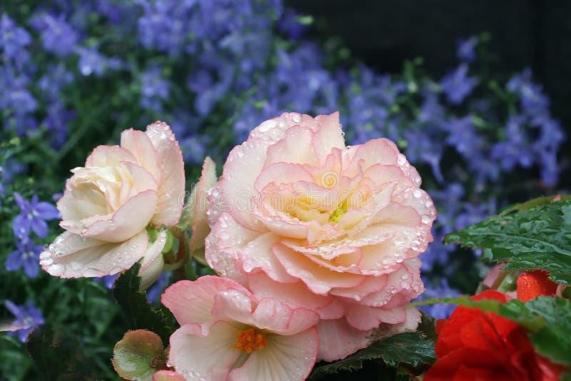 Małe perły na białych płatkach piękny kwiat fotografia stock