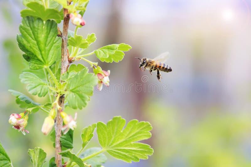Małe pszczoły lata nad kwiecenie gałąź obrazy royalty free