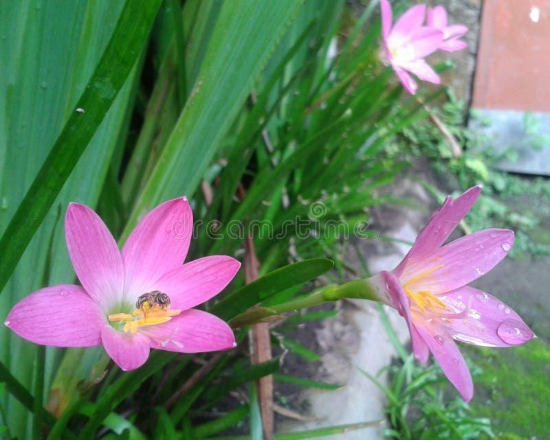 Małe pszczoły na kwitnącej czarodziejskiej lelui zdjęcia royalty free