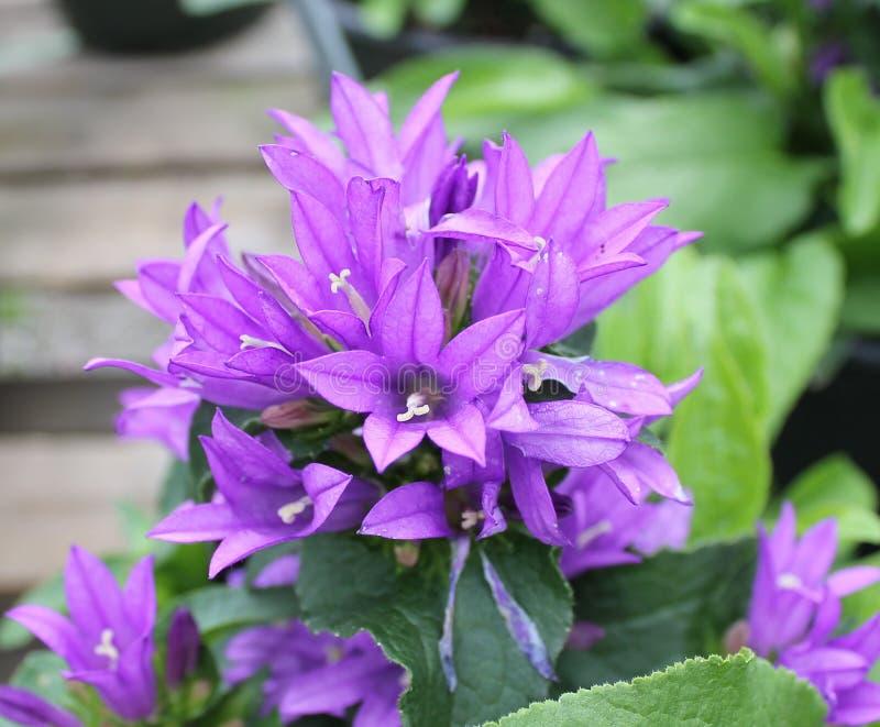 Małe Purpurowe petunie zdjęcia stock