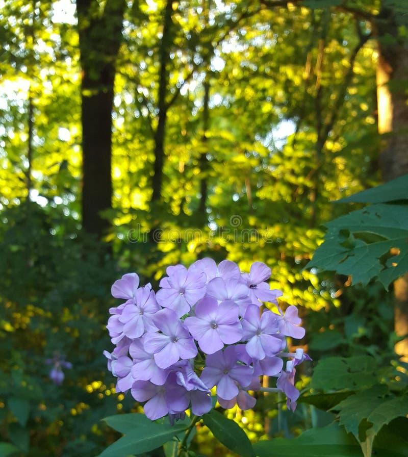 Małe purpury fotografia stock