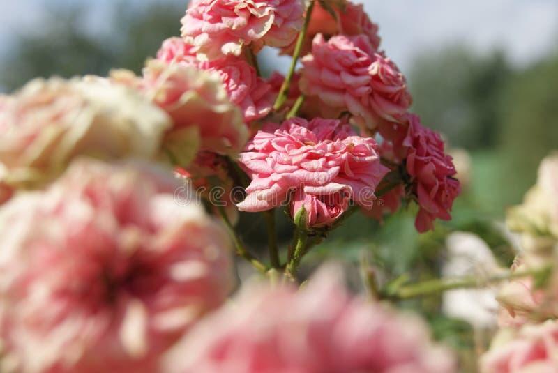 małe różowe róże zdjęcie stock