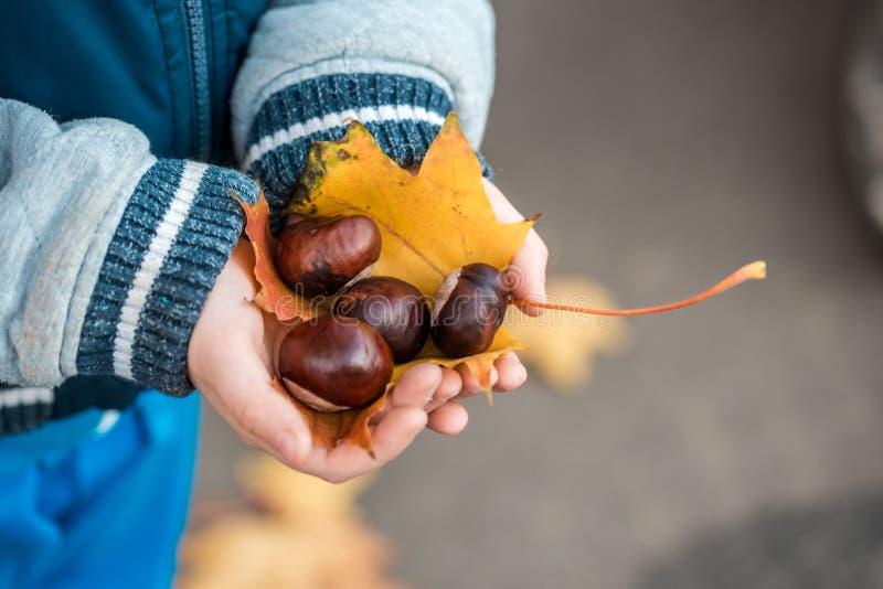 małe ręki z kasztanami i kasztanami w rękach dziecko - spadku czasu jesieni żółty liść klonowy Pojęcie Jesień fotografia stock