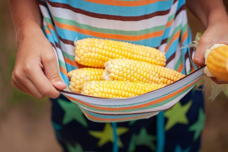 Małe rolnik ręki z świeżą kukurudzą Kukurydzany żniwo zdjęcia royalty free