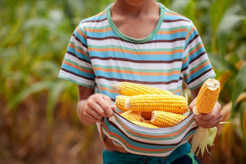 Małe rolnik ręki z świeżą kukurudzą Kukurydzany żniwo zdjęcie royalty free