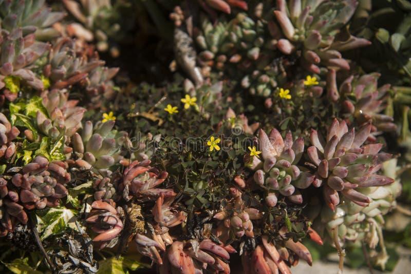 Małe sukulent rośliny w ogródzie obrazy royalty free