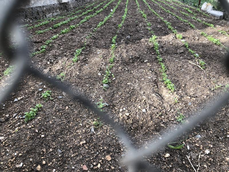 Małe zielone świeże rozsady na ziemi w ogródzie zdjęcie royalty free