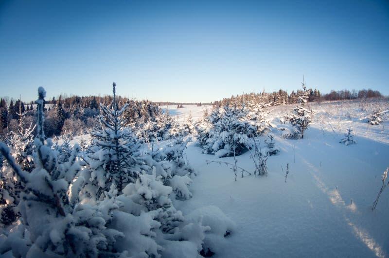 Małe zielone jodły zakrywać z śniegiem i mrozem na zimnym słonecznym dniu rybiego oka wykoślawienie zdjęcia royalty free