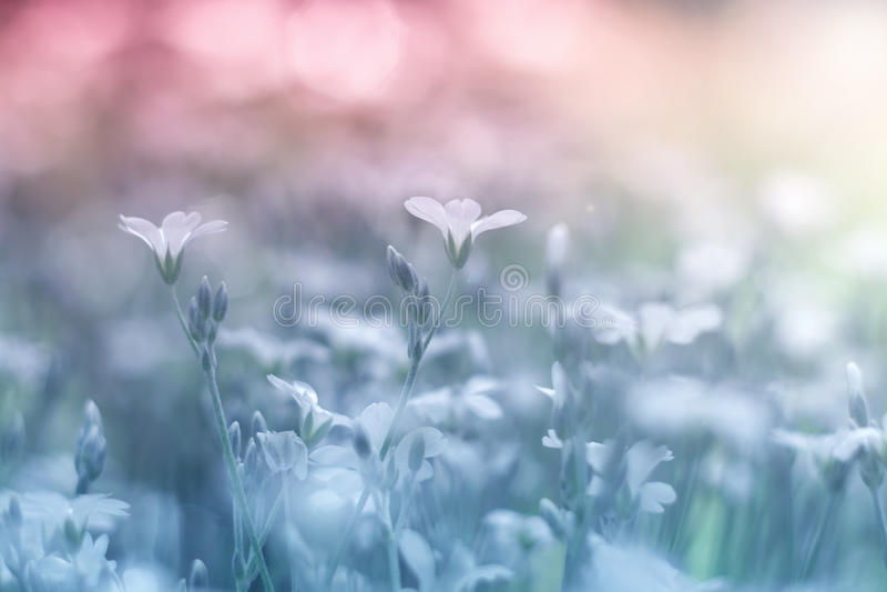 Małego białych kwiatów cerastium piękny i delikatny tło Selekcyjna miękka ostrość obrazy stock