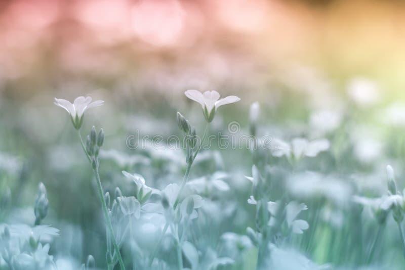 Małego białych kwiatów cerastium piękny i delikatny tło Selekcyjna miękka ostrość obraz royalty free