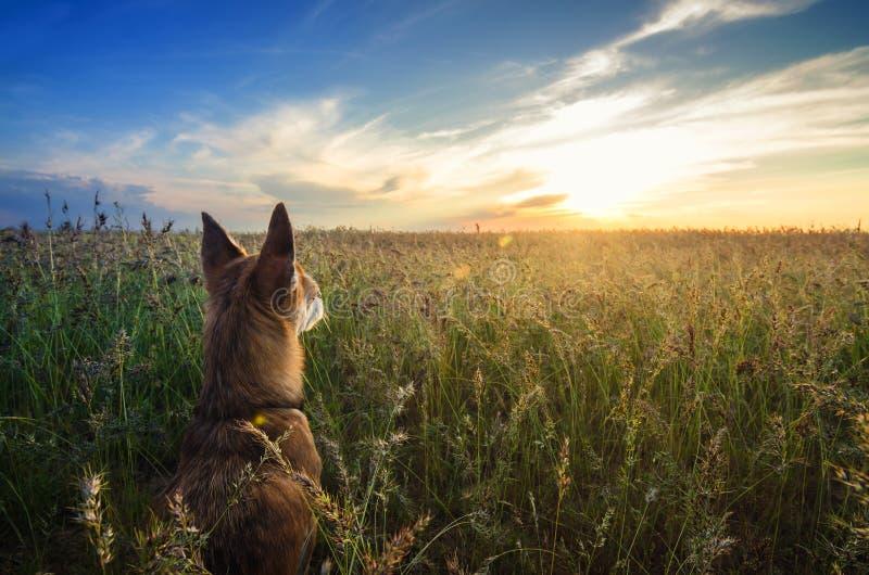 Małego chihuahua psi cieszy się złoty zmierzch w trawie Ja stoi z powrotem kamera na kolorowym polu Niebieskie niebo i biel chmur obraz royalty free
