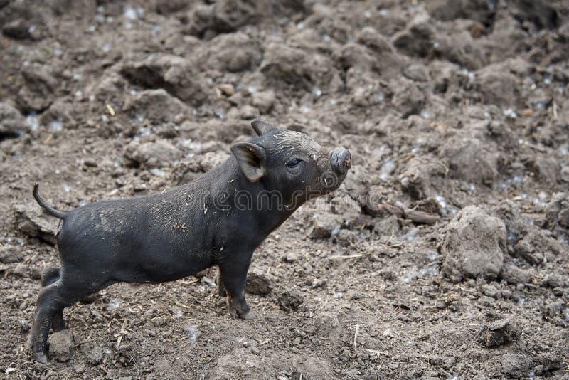 Małego czerni brudna dumna świnia fotografia stock