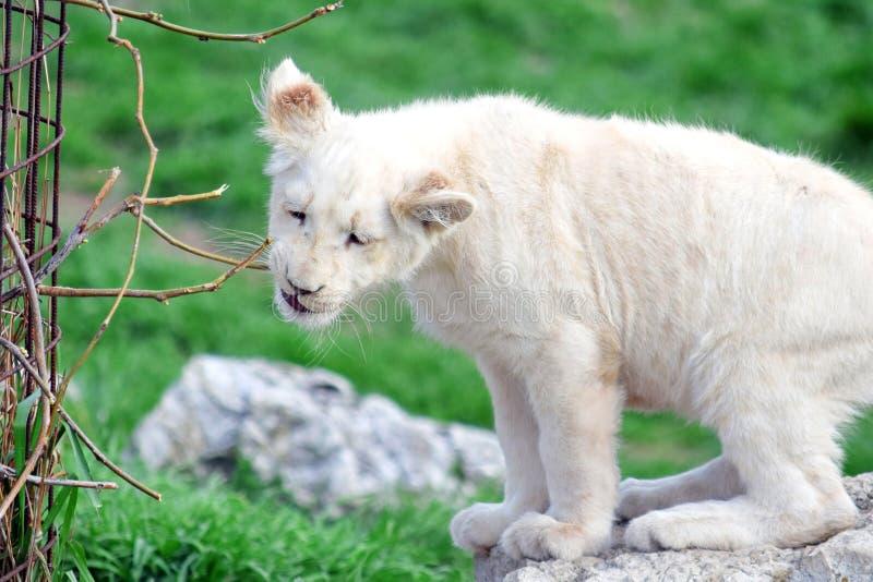 Małego dziecka lwa Biały Panthera Leo Krugeri Bawić się z gałąź obraz royalty free