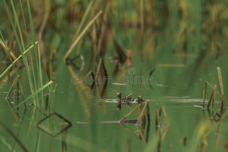 Małego perkoza pływanie w stawie obraz royalty free