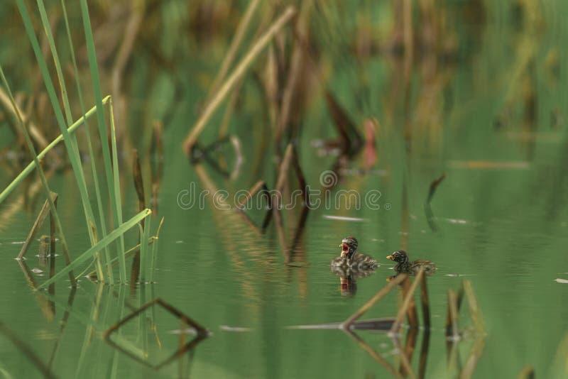 Małego perkoza pływanie w stawie zdjęcia royalty free