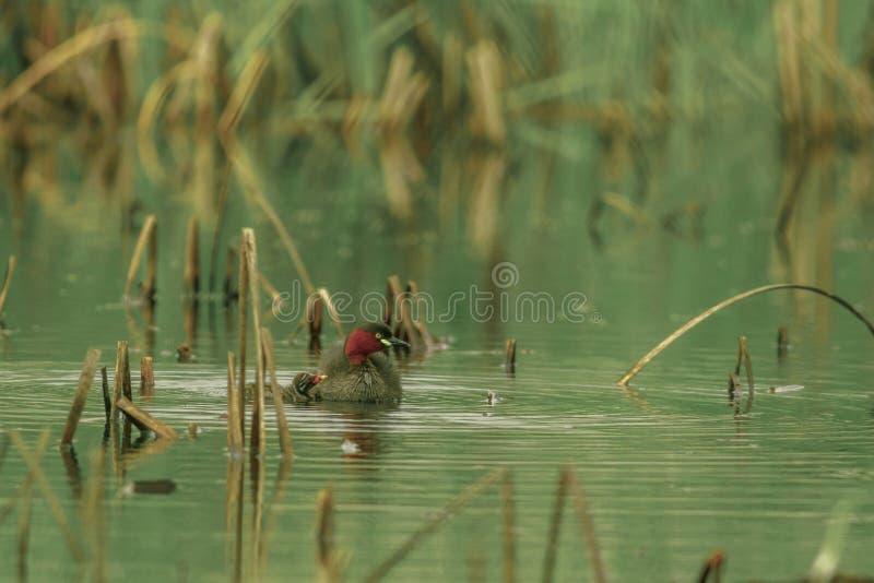 Małego perkoza pływanie w stawie zdjęcie royalty free