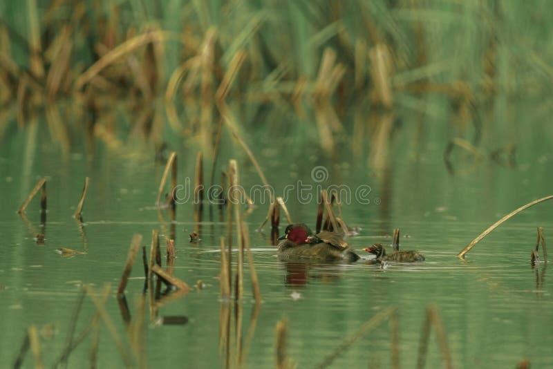 Małego perkoza pływanie w stawie fotografia royalty free
