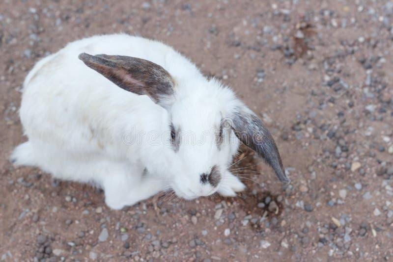 Małej królik wybiórki ostrości rozmyty tło, Piękny Biały królik, królik choroba fotografia royalty free